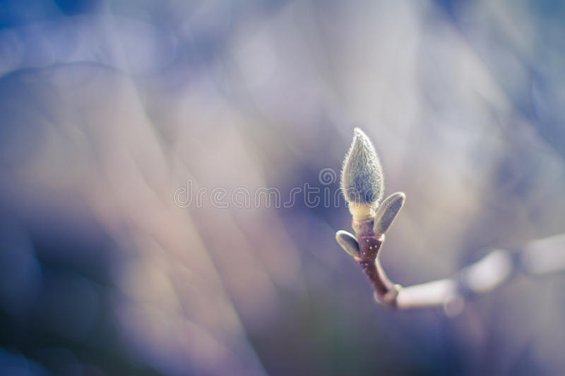 Magnolia bud. Blossom Magnolia flower in nature stock photos