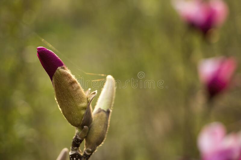 Magnolia bud in sunlight royalty free stock image