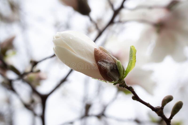 Magnolia bud on light blurred background. White closed flower on a dark stem. stock images
