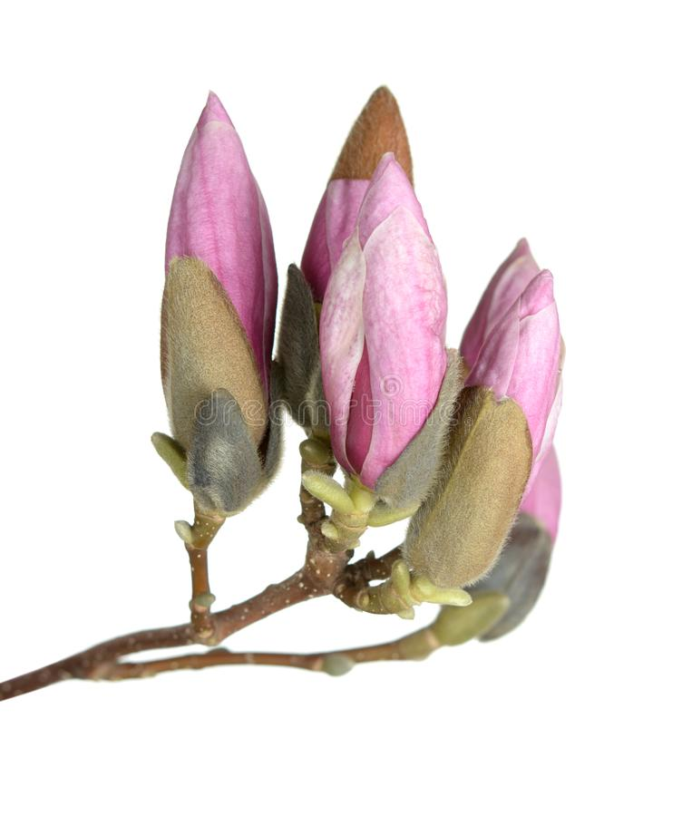 Magnolia buds. A bunch of magnolia buds isolated on white stock photography