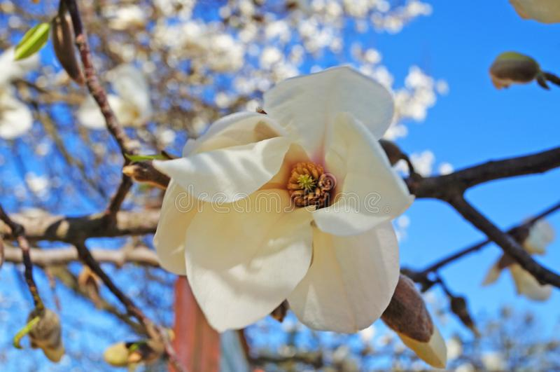 Magnolia buds and flowers with white petals on a tree branch. Against a blue sky stock image