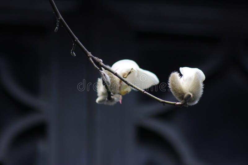 Magnolia che sboccia senza foglie all'interno del sole di inverno immagini stock