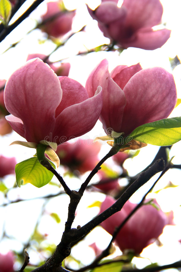Magnolia - colore rosa fotografia stock