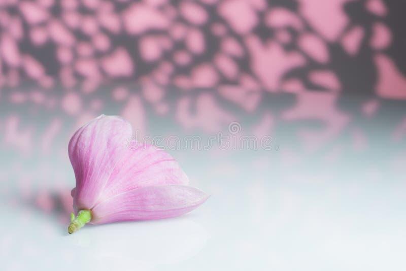 Magnolia con rosa y el fondo gris foto de archivo libre de regalías