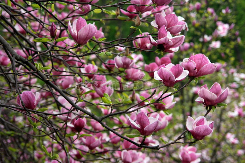 Magnolia - cor-de-rosa imagens de stock royalty free