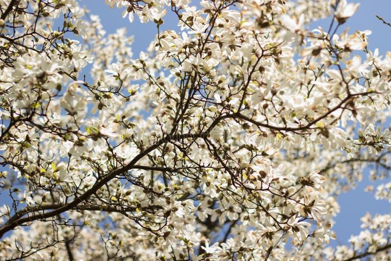 Magnolia de florescência fotografia de stock