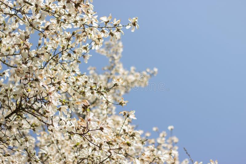 Magnolia de florescência fotografia de stock royalty free