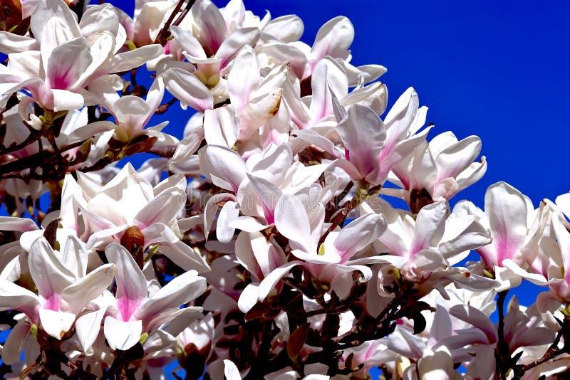 Magnolia in de lente stock foto's