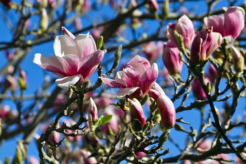 Magnolia in de lente royalty-vrije stock afbeeldingen
