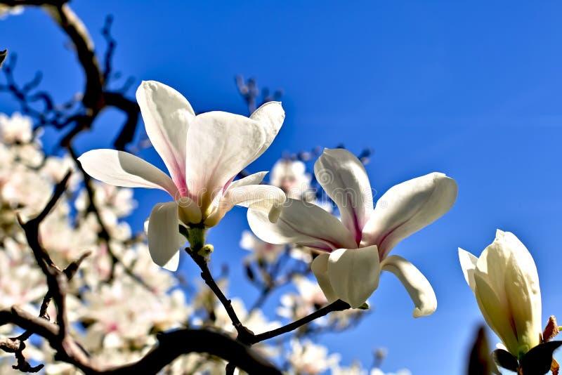 Magnolia in de lente stock afbeeldingen