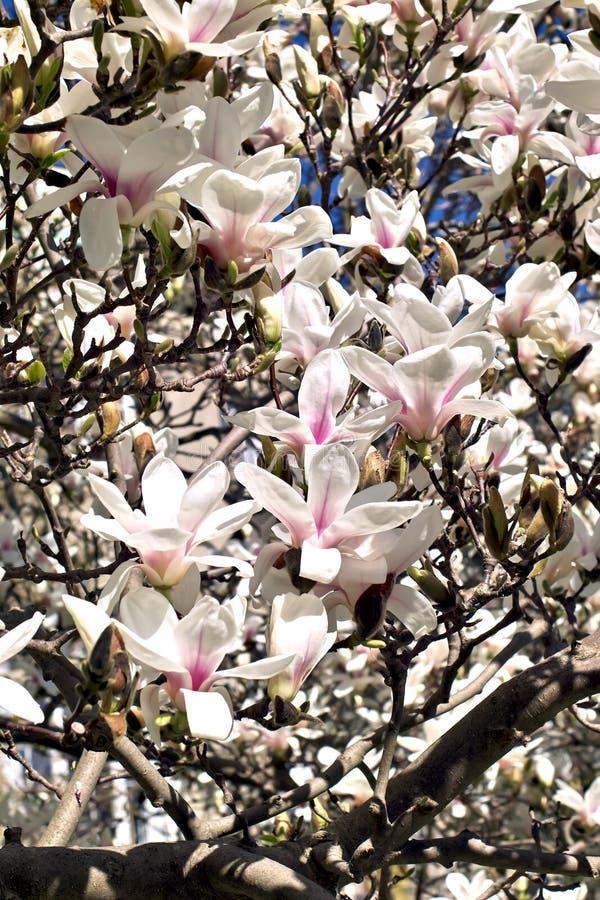 Magnolia in de lente stock afbeelding