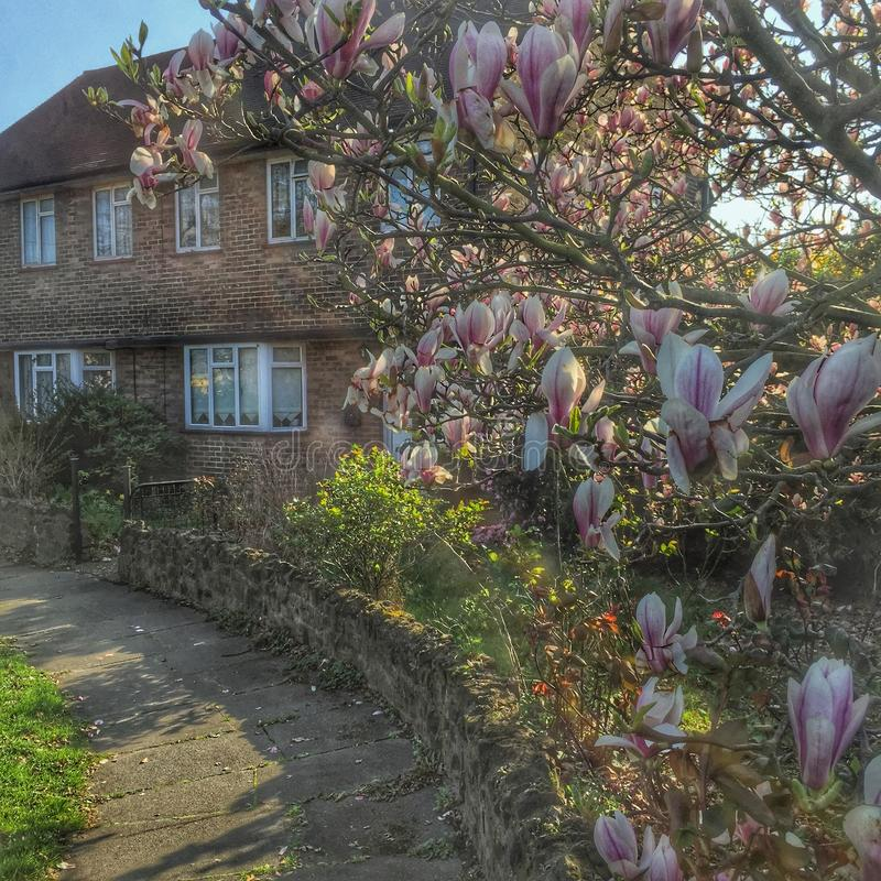 Magnolia de ressort à la maison photos libres de droits