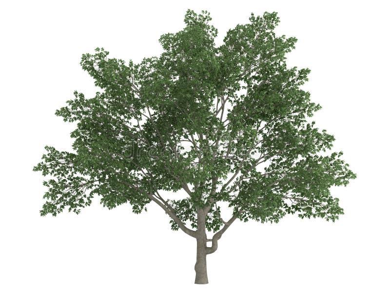 Magnolia de Sweetbay (virginiana de la magnolia) stock de ilustración