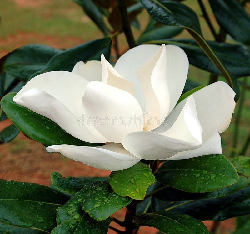 magnolia del fiore fotografie stock