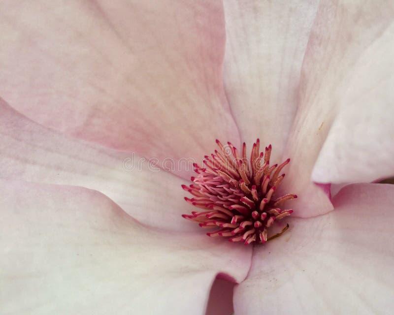 Magnolia dello zucchero immagine stock