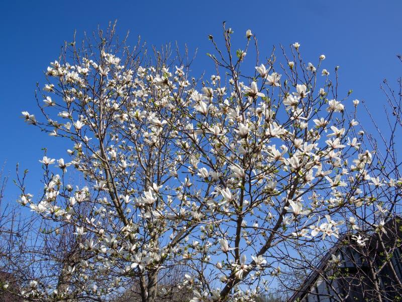 Magnolia di fioritura dell'arbusto contro il cielo blu immagini stock libere da diritti