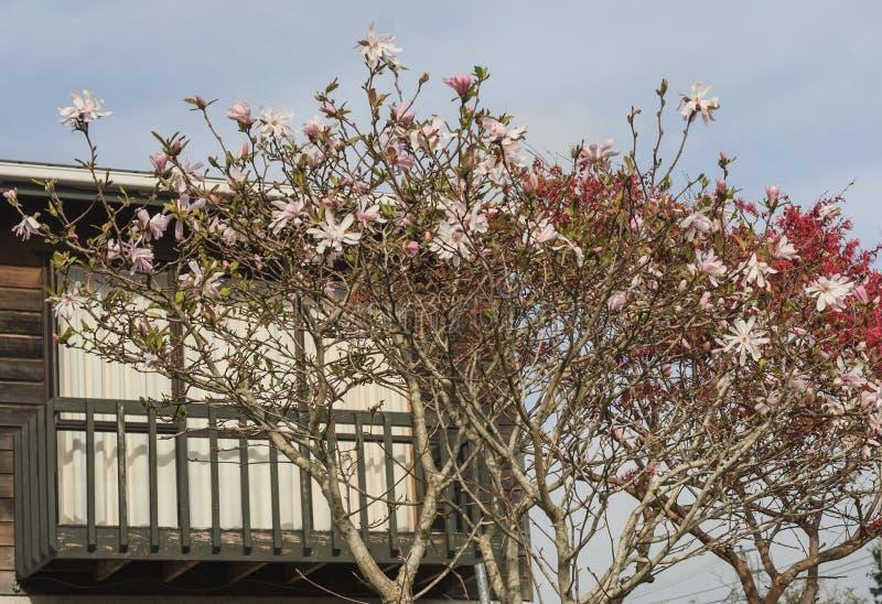 Magnolia di fioritura sotto il balcone fotografia stock libera da diritti