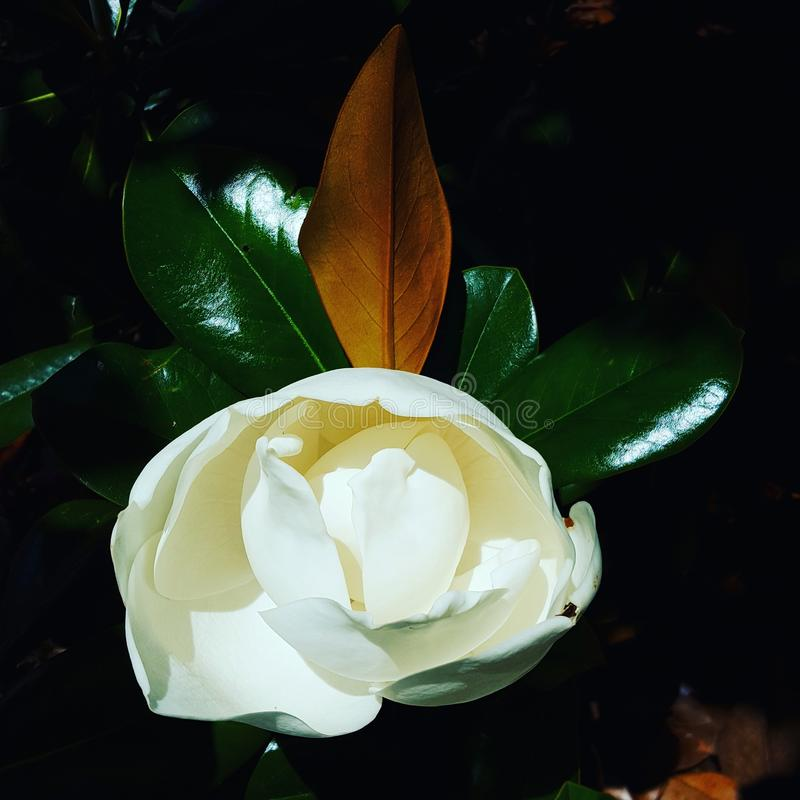 Magnolia du sud image libre de droits