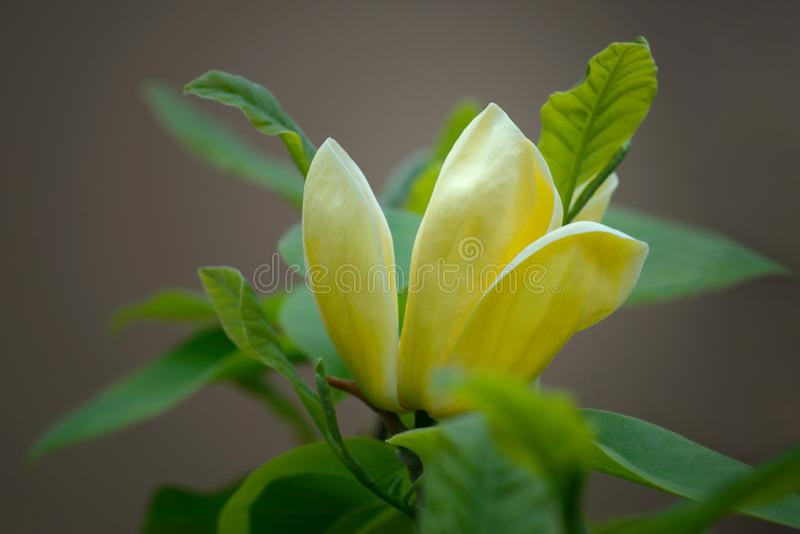 Yellow Magnolia Stock Photo Image Of Delicate Freshness