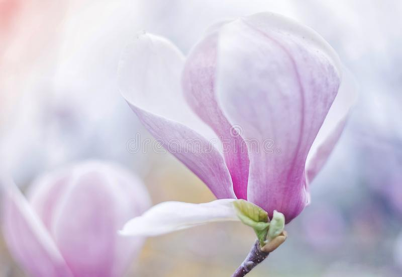 Magnolia. At the end of April, magnolia blossoms in the city of Odessa, Ukraine royalty free stock image