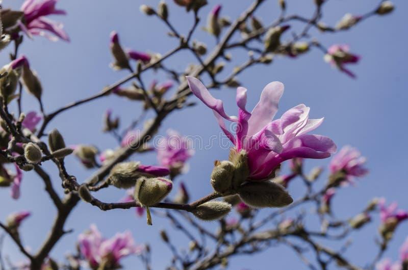 Magnolia in fiore fotografia stock