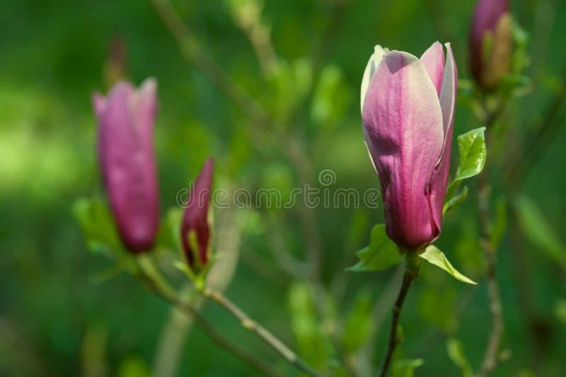 Magnolia fleurissante photographie stock libre de droits