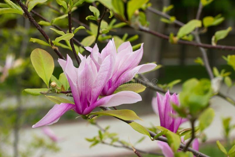 Magnolia fleurissante Tulip Tree photographie stock libre de droits