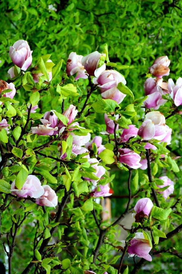 Magnolia Fleurs gentilles dans le jardin dans le milieu de l'?t?, dans un jour ensoleill? Horizontal vert image libre de droits