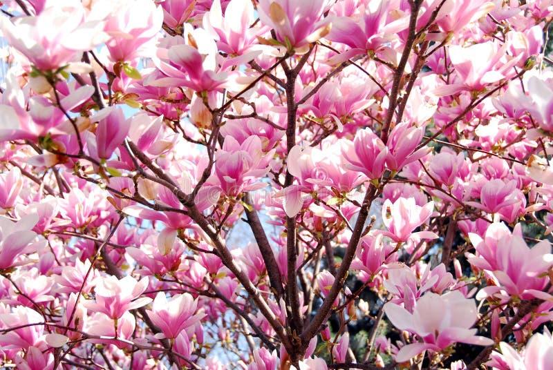 Magnolia floreciente foto de archivo libre de regalías