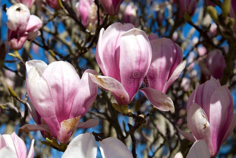 Magnolia floreciente fotografía de archivo