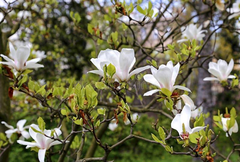 Magnolia floreciente con las flores blancas hermosas fotos de archivo