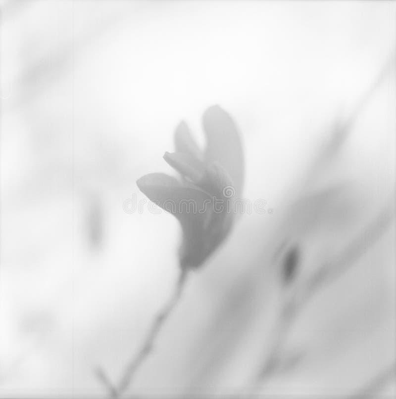 Magnolia floreciente con las hojas verdes, naturaleza natural de vida de la flor fotografía de archivo