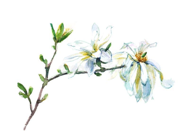 magnolia floreciente de la acuarela ilustración del vector