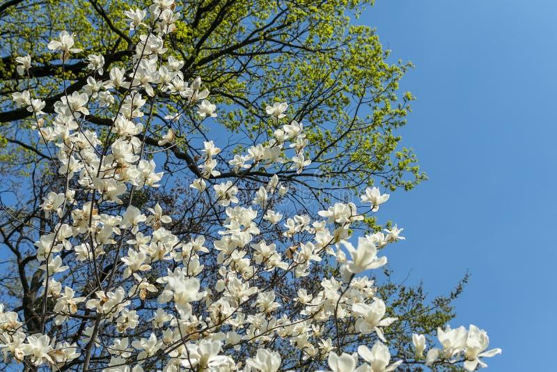 Magnolia floreciente imagen de archivo
