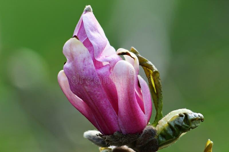 Magnolia floreciente en la primavera imágenes de archivo libres de regalías