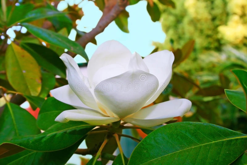 Download Magnolia Flower Stock Photos - Image: 14300933