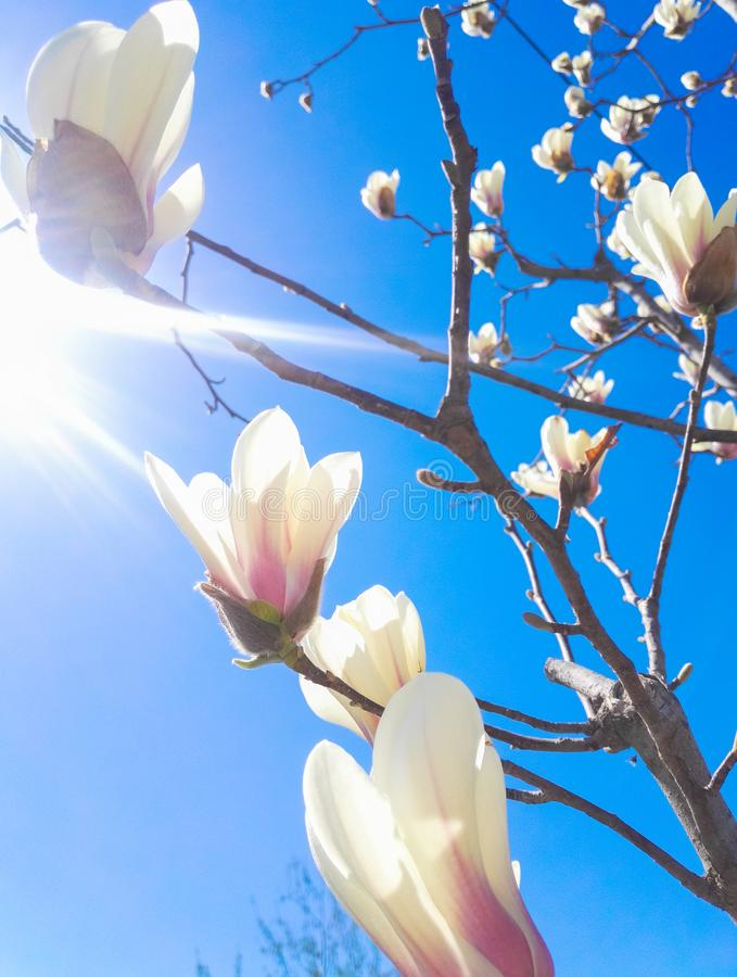 Magnolia flower with background of blue sky royalty free stock photo