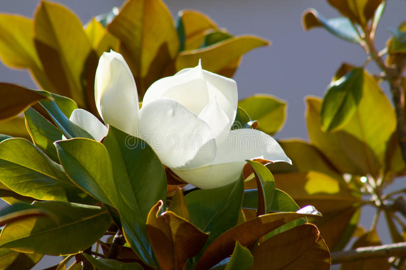 Magnolia flower blossom between green leaves. In june royalty free stock photography