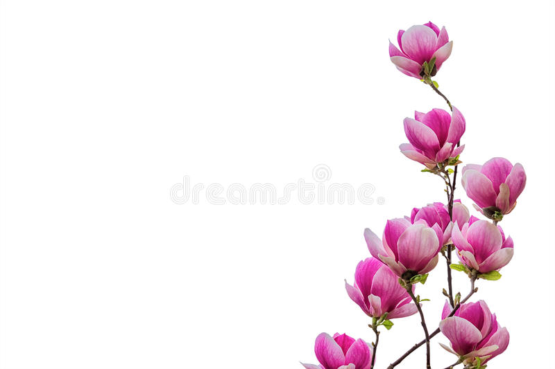 Magnolia flower blossom isolated on white background. Greeting card stock image