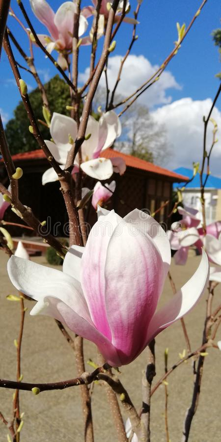 Magnolia flower bud against the blue sky and white clouds stock photos