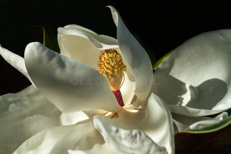 Download Magnolia flower close up stock image. Image of against - 83722589