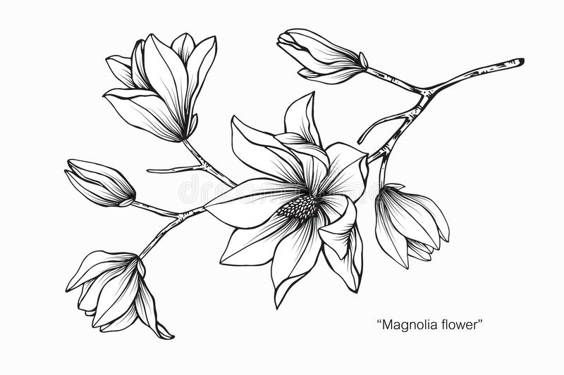 Magnolia flower drawing illustration. Black and white with line art. royalty free illustration