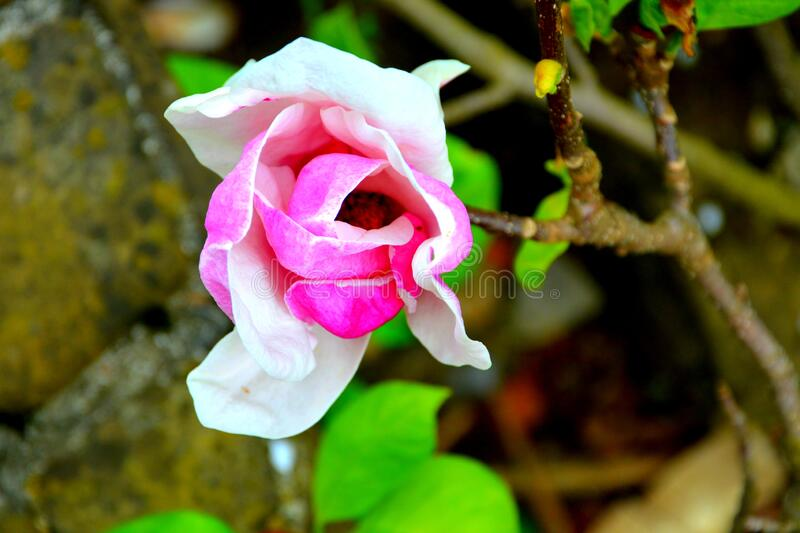Magnolia flower. Nice flowers in the garden in spring, in a sunny day stock photos