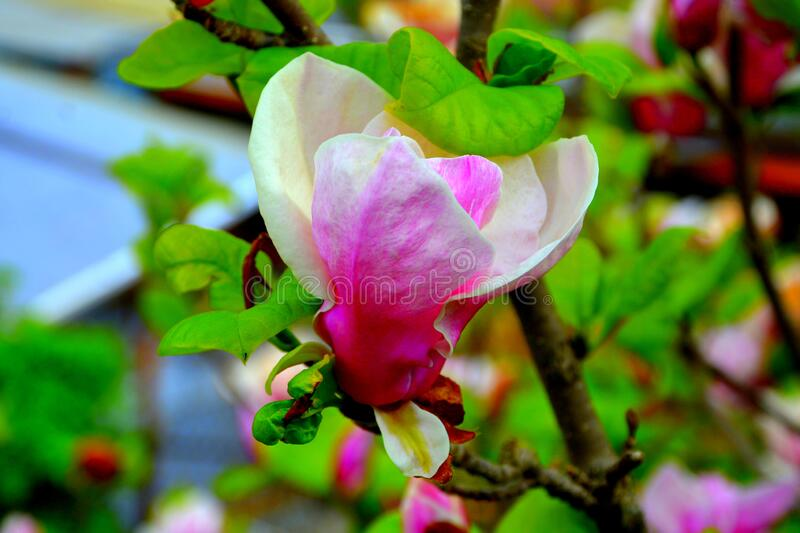Magnolia flower. Nice flowers in the garden in spring, in a sunny day stock image