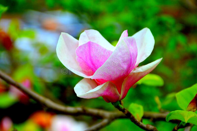 Magnolia flower. Nice flowers in the garden in spring, in a sunny day stock photography
