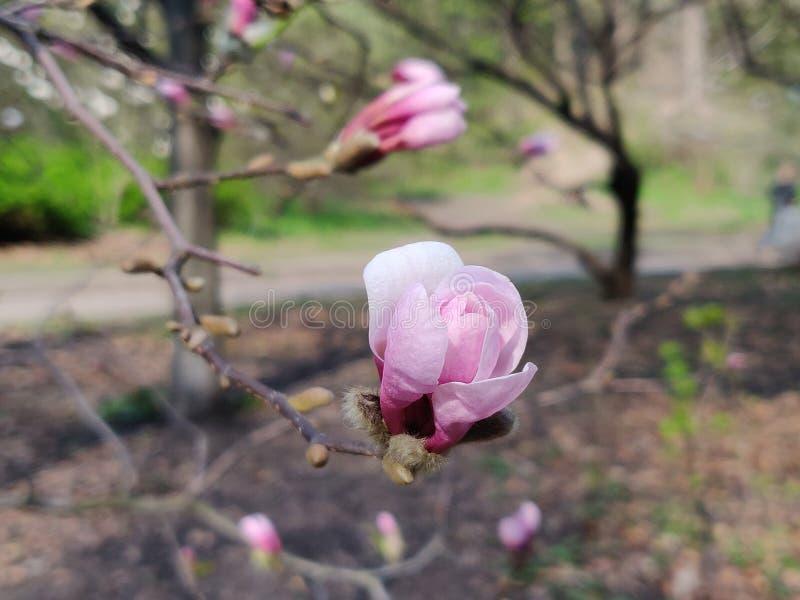 Magnolia flower pink royalty free stock photos