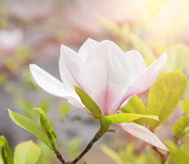 Magnolia flower in spring royalty free stock photos