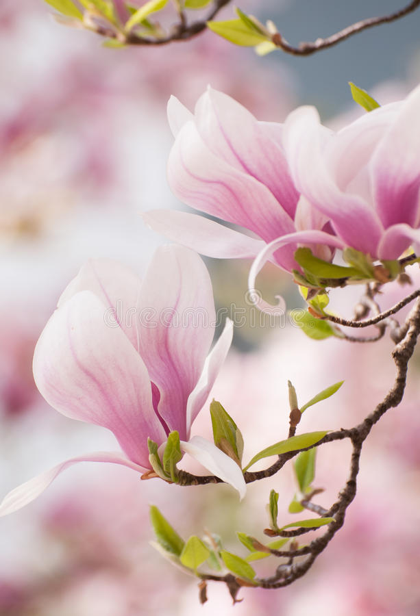 Magnolia flower in springtime royalty free stock photo