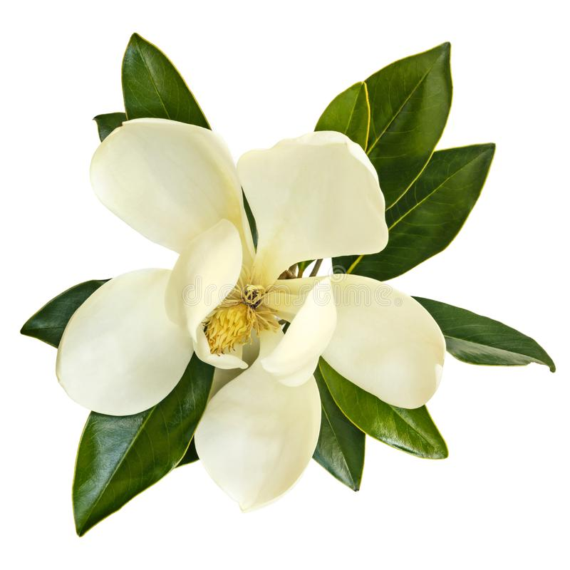Download Magnolia Flower Top View Isolated On White Stock Image - Image of laurel, southern: 106878593