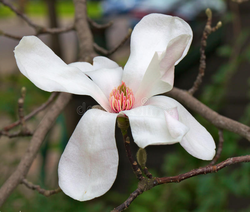 Download Magnolia flower wider dof stock photo. Image of nature - 18828550